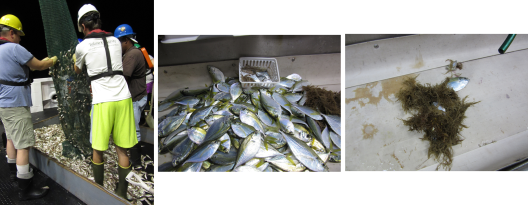 The case of the shrinking trawls. On left, a catch from the night of July 2. Center and right, samples from two stations in hypoxic waters. The fish in the right photo may have been stuck in the net from the previous trawl.