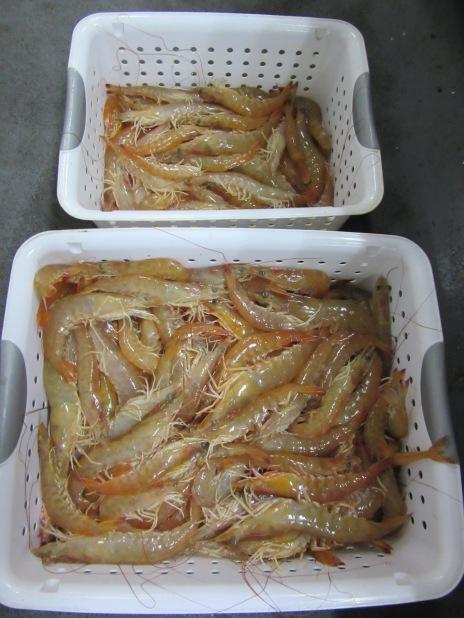 Shrimp and more shrimp. Brown shrimp, Farfantepenaeus aztecus to be specific!
