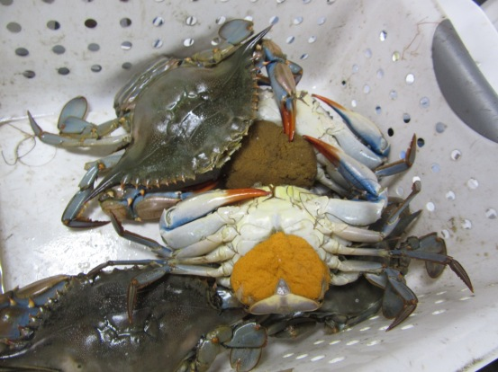 Blue crabs, Callinectes sapidus. The two upturned crabs are females carrying eggs.