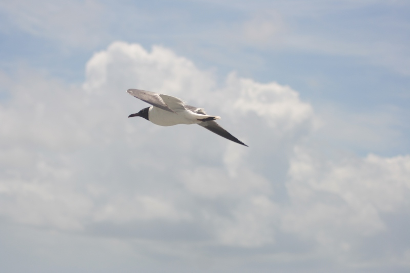 Gulls never left the side of NOAA Ship Oregon II.