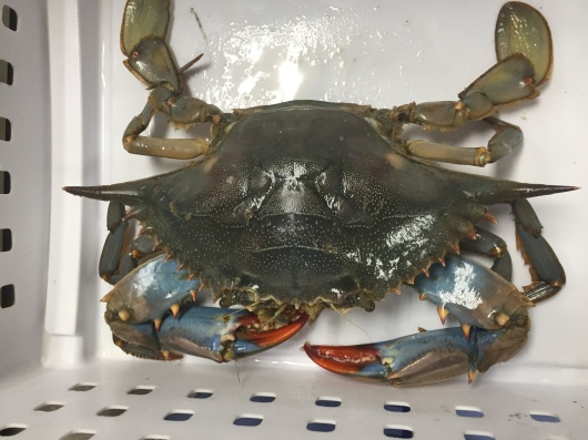 Blue Crab, Callinectes sapidus