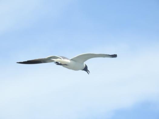 Laughing gull.JPG