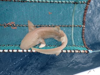 Nurse shark in cradle