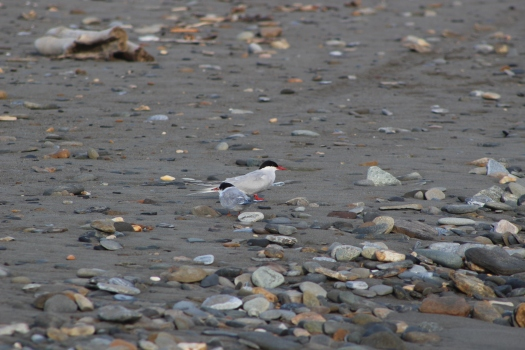 Arctic Tern and offspring