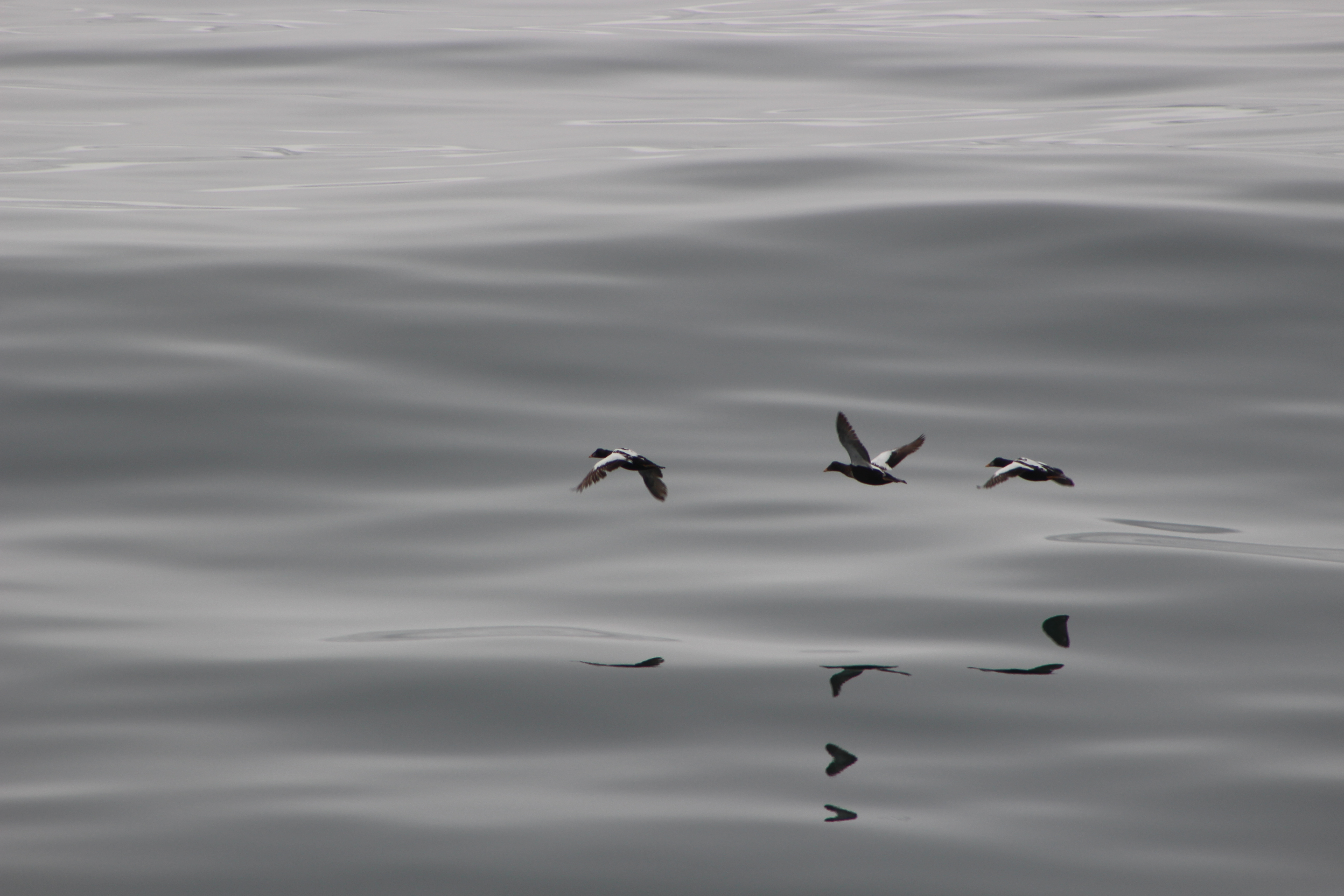Three male eider ducks
