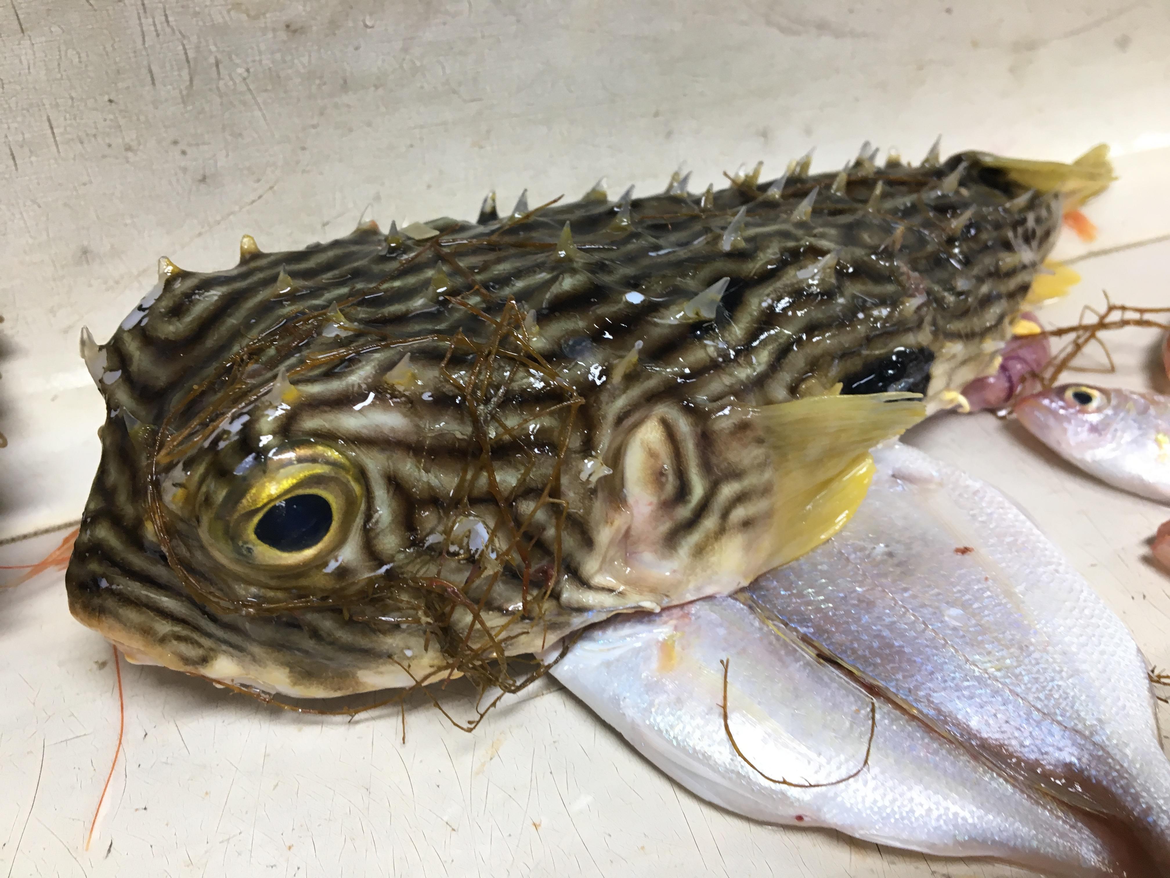 Burrfish, Chilomycterus schoepfii