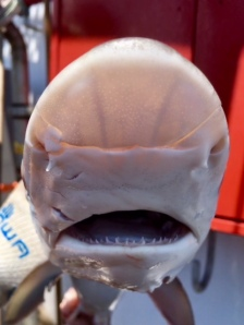 Snout of sharpnose shark