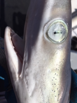 dilated pupil of sharpnose shark