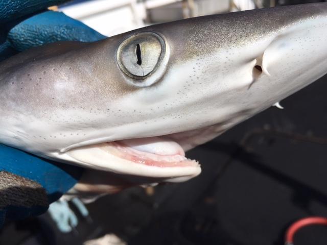 Sharpnose shark