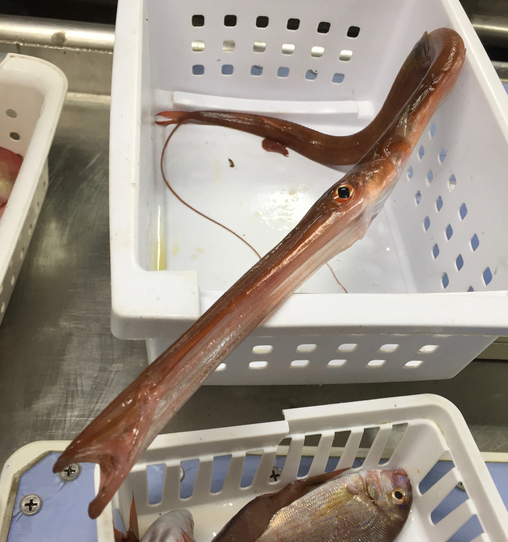 Trumpetfish, Aulostomus maculatus