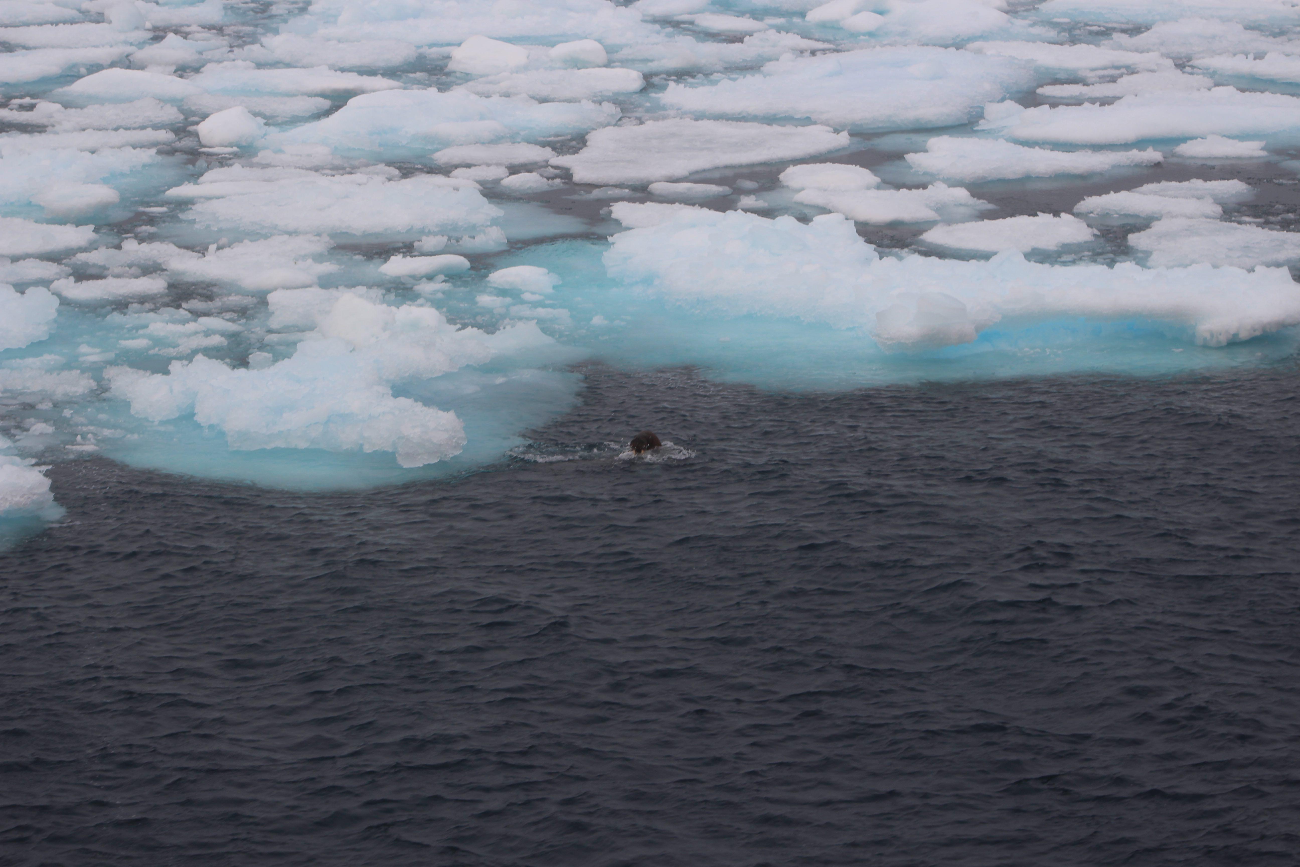 Walrus broken ice