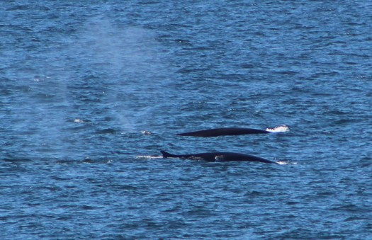 Pair of Fin Whales
