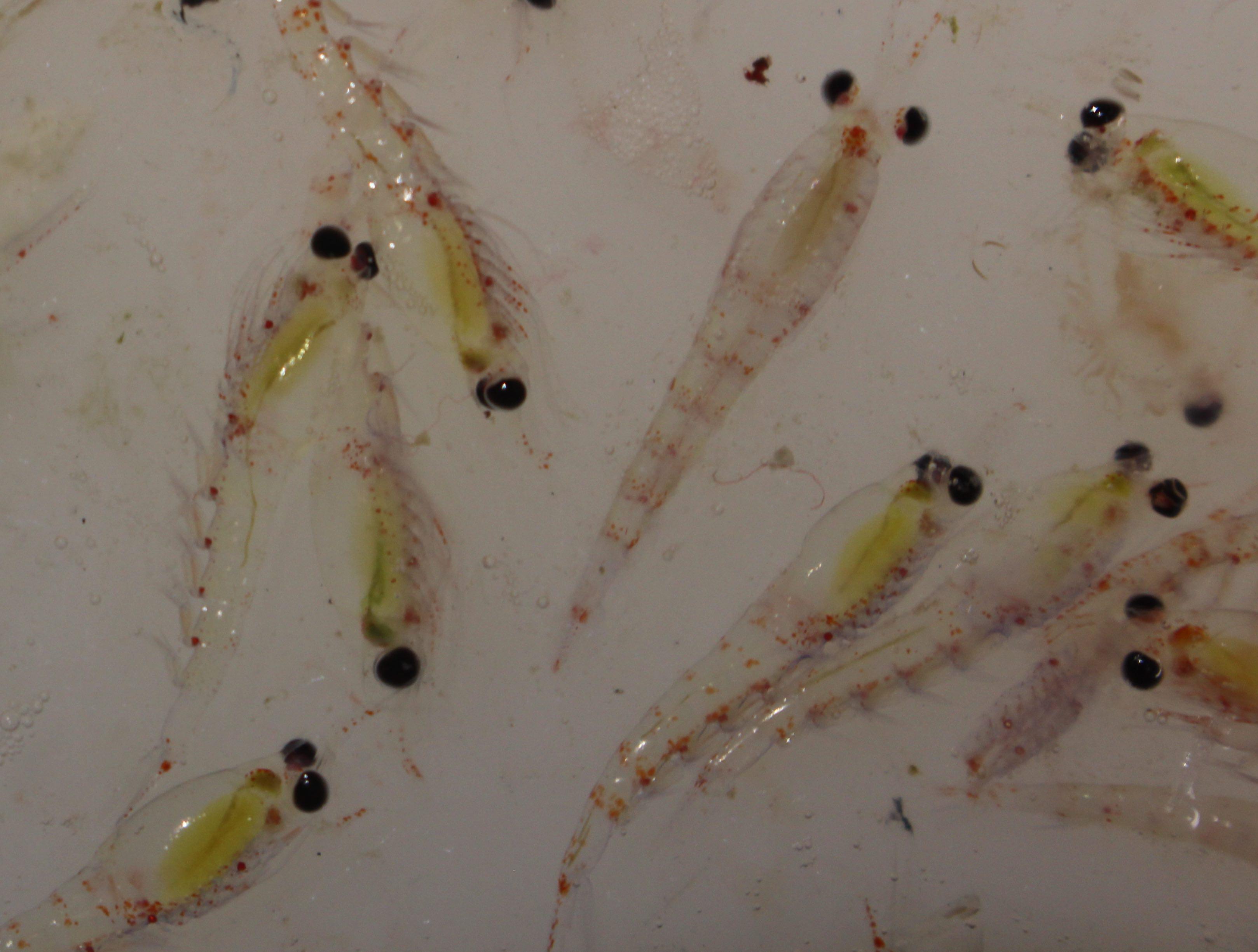 Thysanoessa inermis, a species of krill
