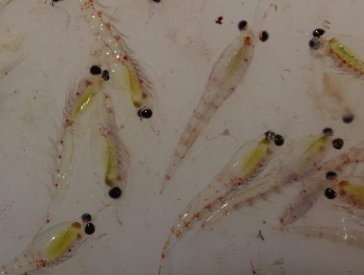 Thysanoessa inermis, a species of krill