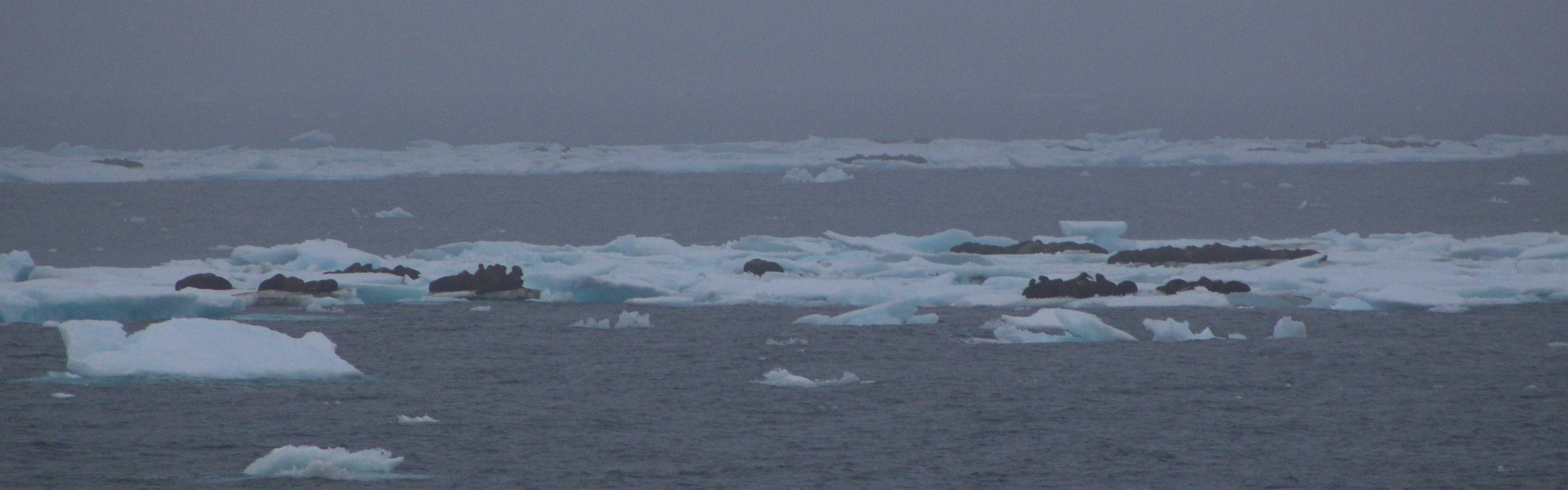 Walrus dot the seascape