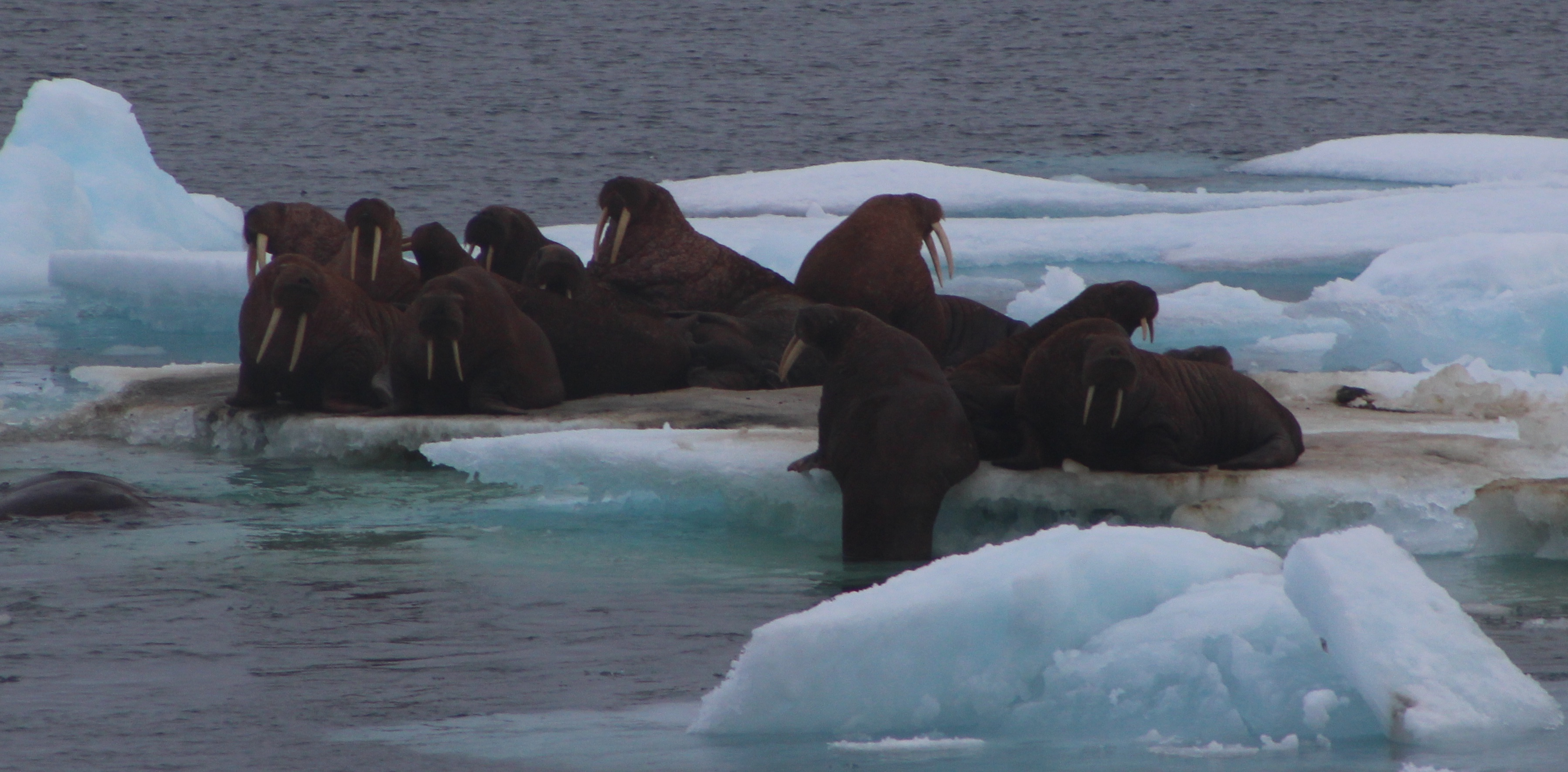 Walrus on Ice