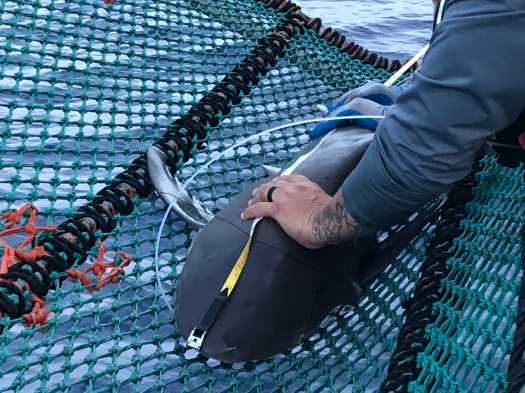 A sandbar shark being measured with a measuring tape in a rope sling.