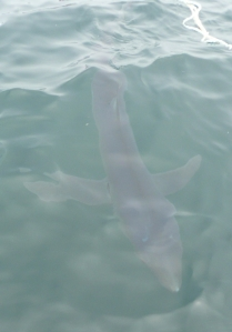 A blue shark swims near the surface.