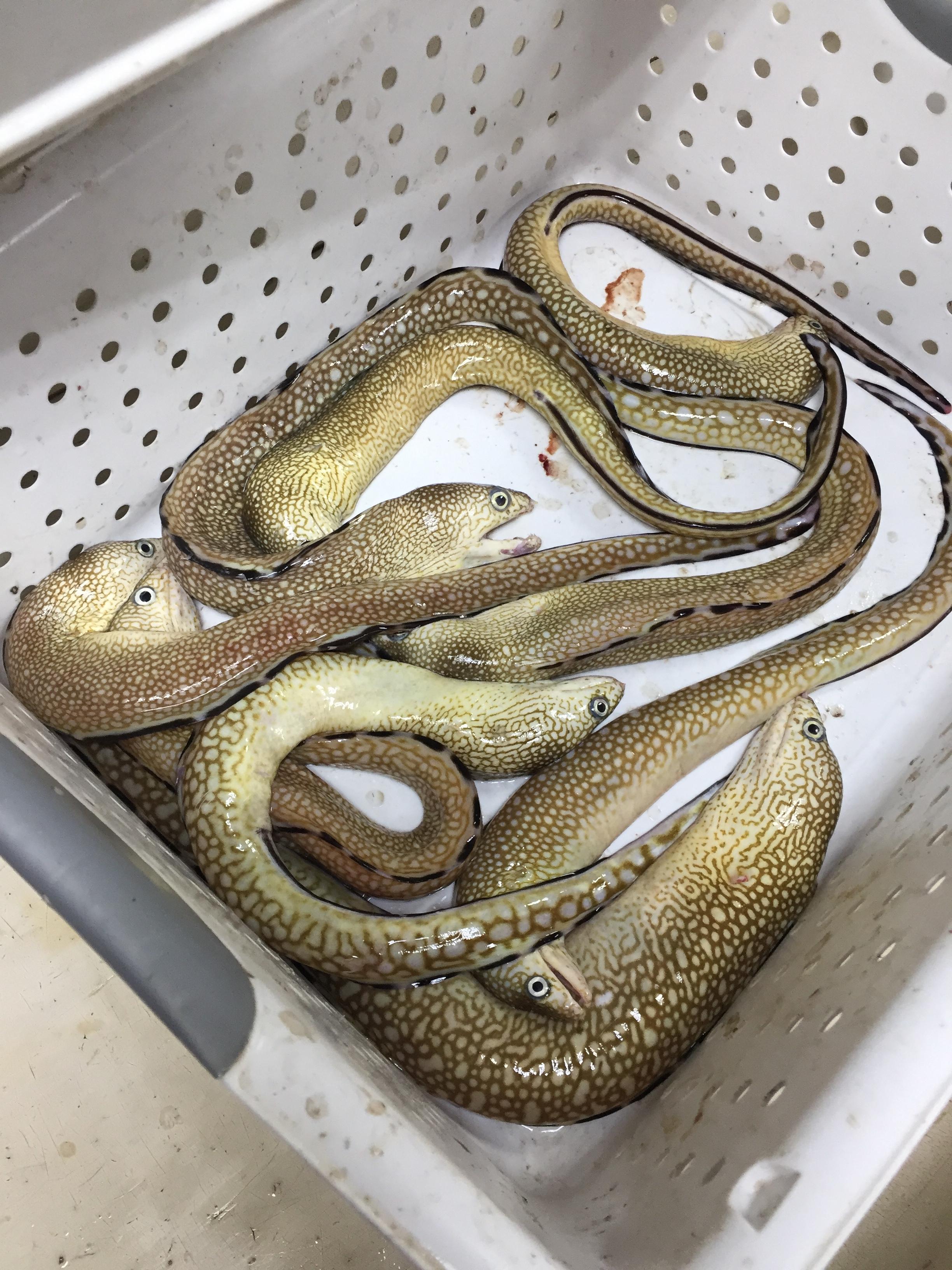 Ocellated Moray Eels, Gymnothorax saxicola