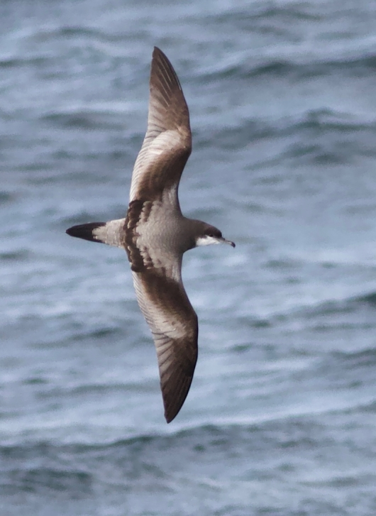 Bowler's shearwater, photo credit Callie Gesmundo.