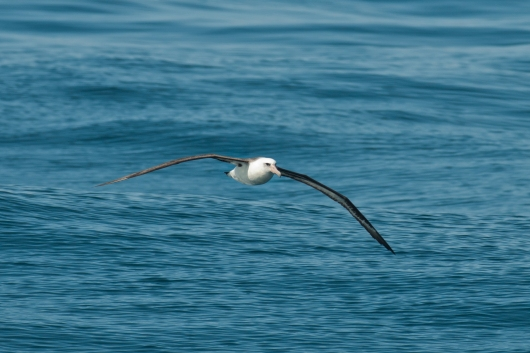A Laysan Albatross