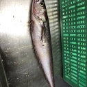 A Pacific hake