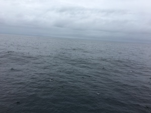 Sooty shearwaters as far as you can see.