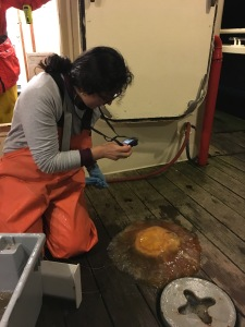 Graduate student Heidi photographing a phacellophora (fried egg) jelly