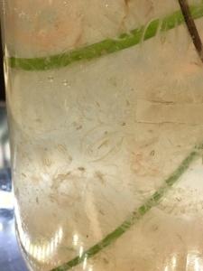 Smaller ctenophores (comb jellies) caught in the Methot net.