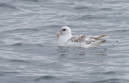 "Northern Fulmar, notice it's ""tube nose."""