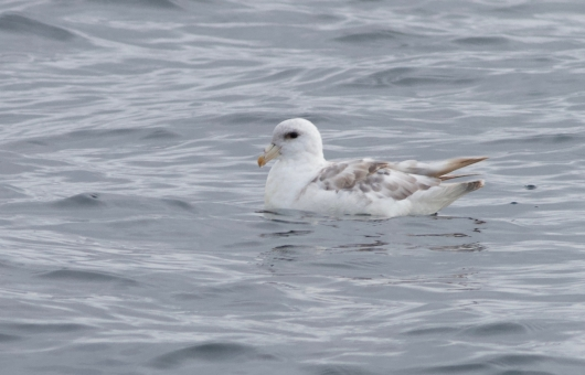 """Northern Fulmar, notice it's """"tube nose."""""""