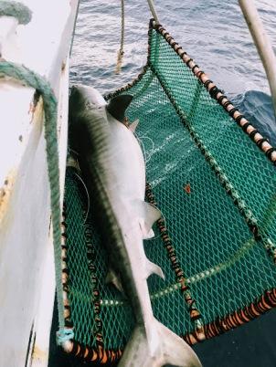 Tiger Shark.jpg