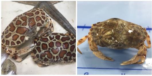 Calico crabs