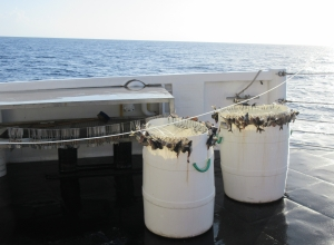 100 circle hooks baited with mackerel. The baited hooks are placed on the edges of barrels, which are sitting on deck.