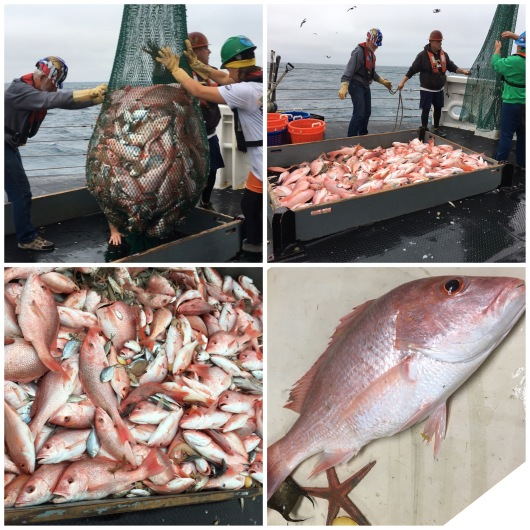 red snapper haul
