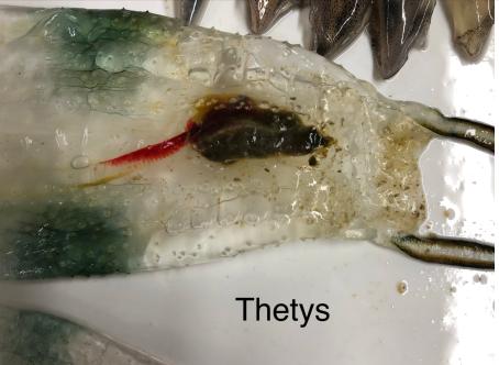 Thetys vagina, the twin-sailed salp.