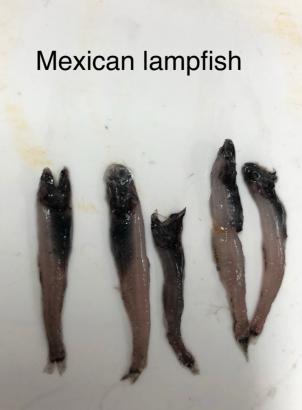 Mexican lampfish