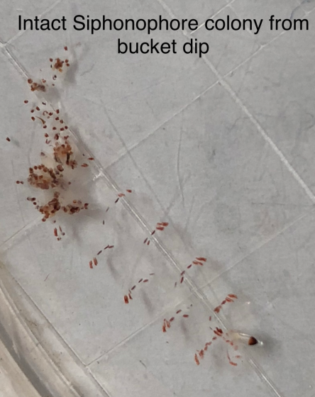 Intact Siphonophore colony