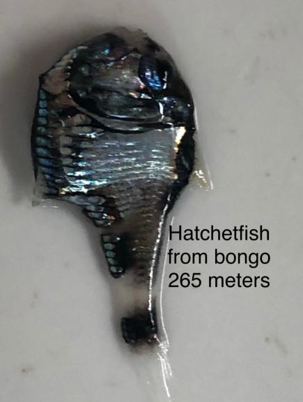 Pacific hatchet fish, Argyropelecus affinis