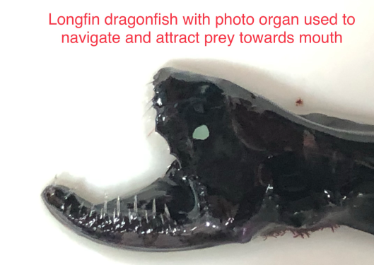 deepsea longfin dragonfish