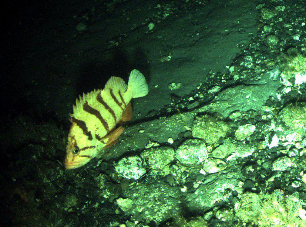 Rockfish | NOAA Teacher at Sea Blog