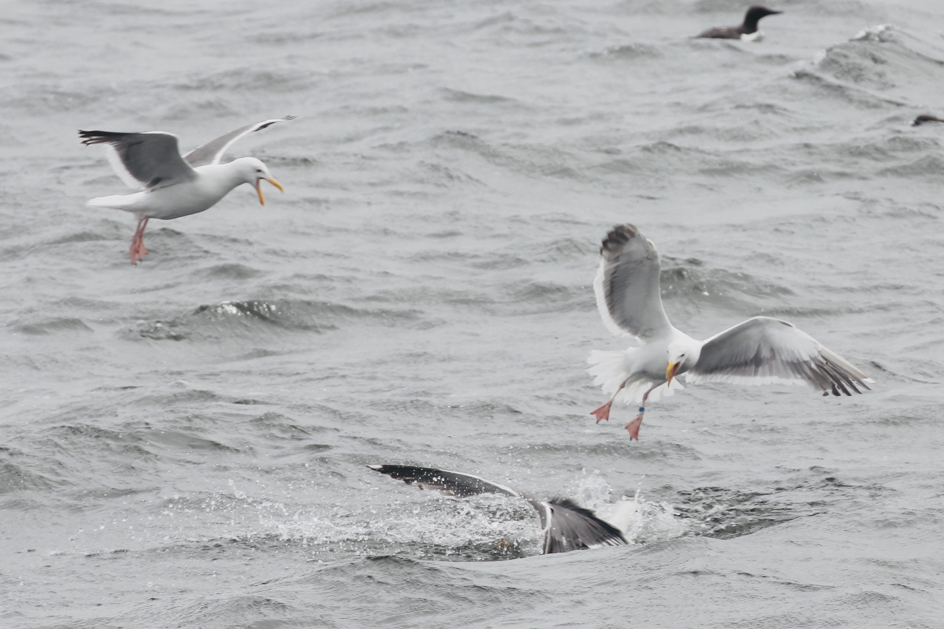 Feeding Western Gulls