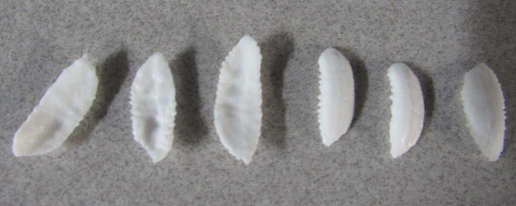 Walleye pollock otoliths