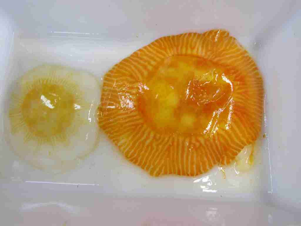 Egg yolk jellyfish