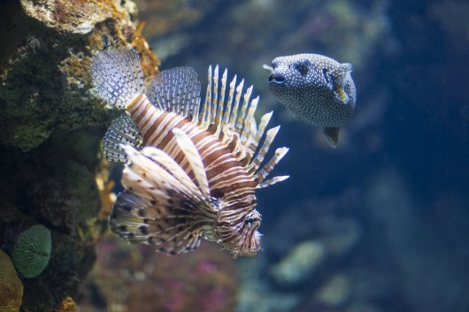 Lionfish and Pufferfish
