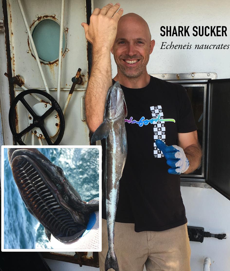 Shark sucker