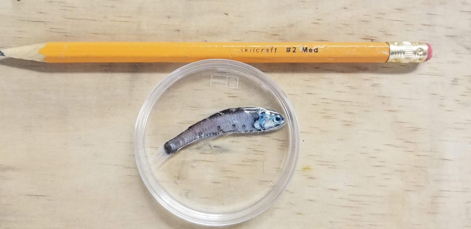 lanternfish v pencil